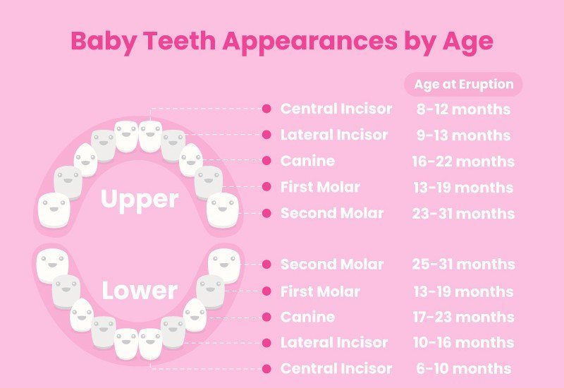 Baby Teeth Appearances Month by Month