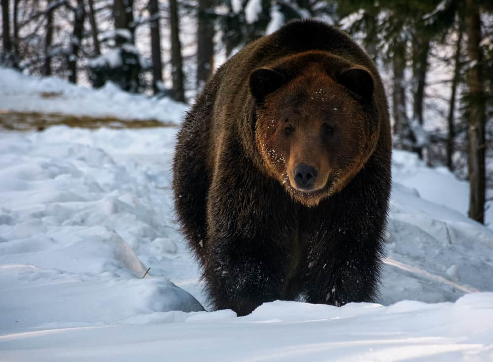 brown bear in the winter snow