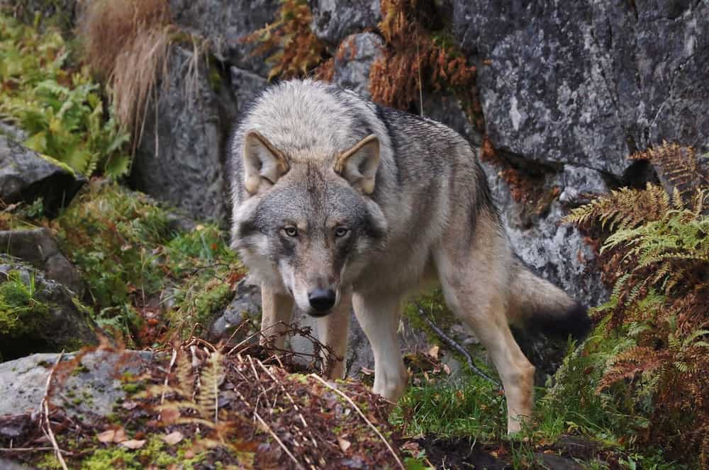 wolf standing on rocks
