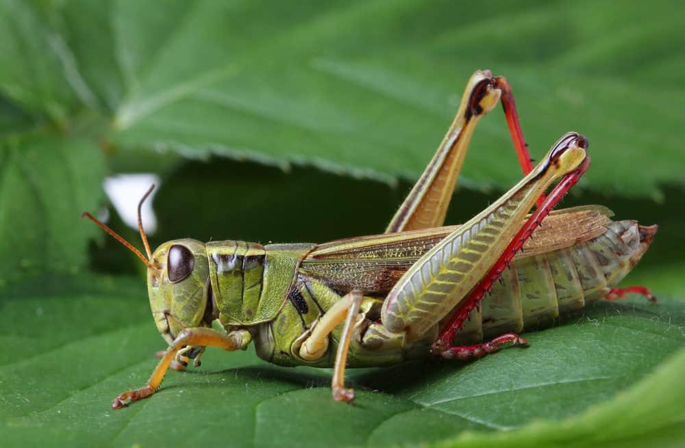 grasshopper sitting on a leaf