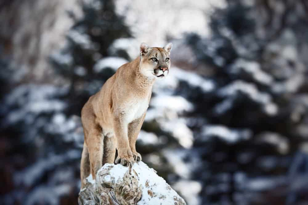 puma standing on a rock